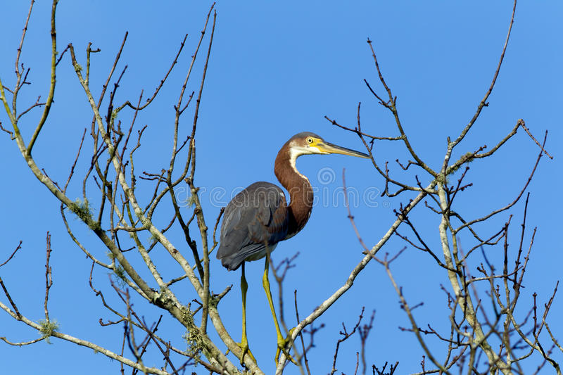 Sideview of tri colored heron. A tri colored heron is perched on a tree branch in Lake Woodruff park in Deland, Florida royalty free stock image
