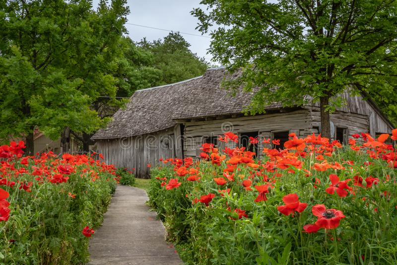 Sidewalk lined with clusters of vivid red poppies. Leading to a rustic antique cabin royalty free stock photo