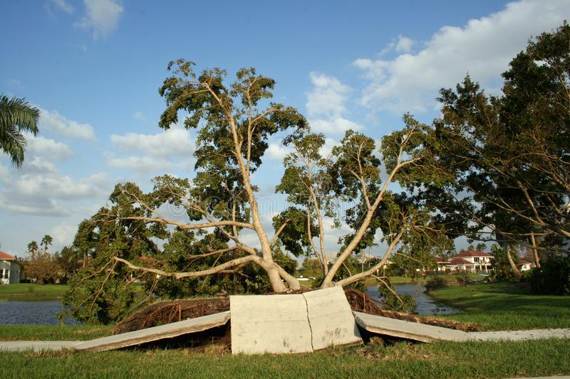 Sidewalk and trees are ripped up from Hurricane winds. stock photography