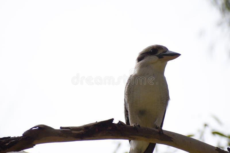 Sideways glance kookaburra foto de stock