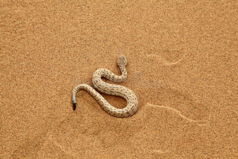 Sidewinder Stock Images - Download 293 Royalty Free Photos