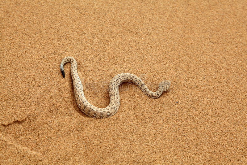 Sidewinder Snake moving royalty free stock photography