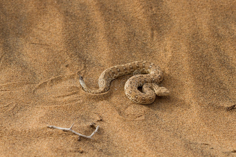 Sidewinder snake in the Namib desert. Namibia, Africa royalty free stock images