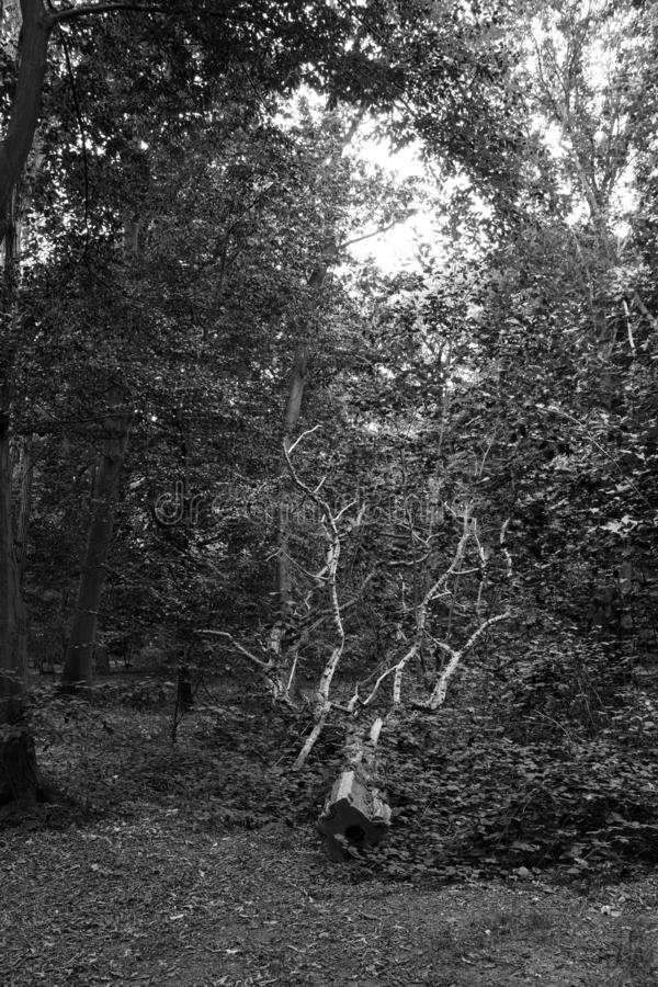 Sido blanco aserrado del negro del árbol fotografía de archivo
