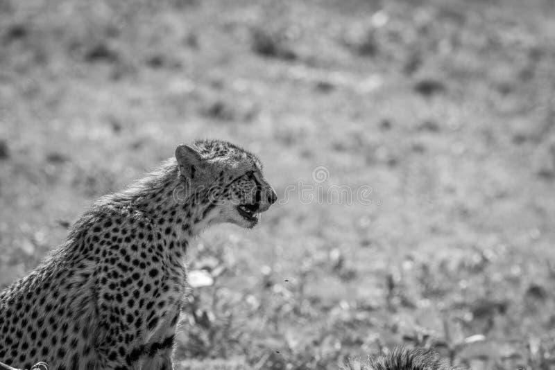 Sidoprofil av en sittande gepard fotografering för bildbyråer