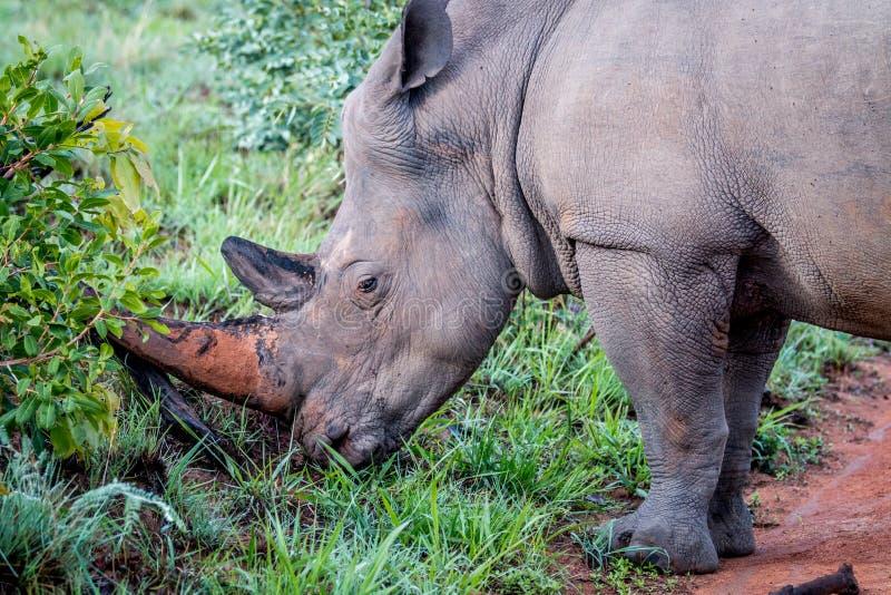 Sidoprofil av en stor vit noshörningman arkivfoto