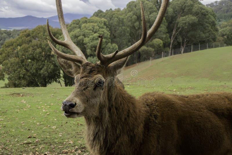 Sidoprofil av fullvuxna hankronhjorten med stora horn royaltyfria foton