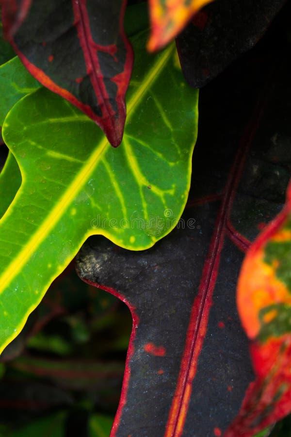 Sidor av Codiaeumvariegatiumen & x28; L & x29; Blume royaltyfri foto