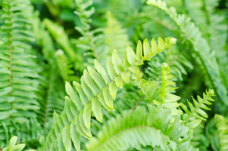 Sidor av den gröna ormbunken arkivbilder