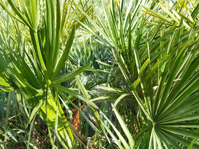 Sidor av grön bakgrund för palmliljapalmträd arkivbild