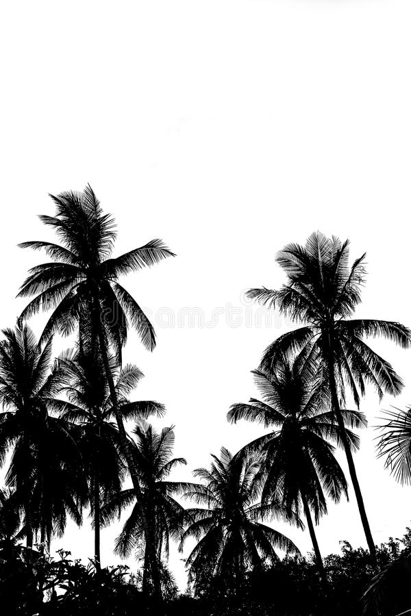 Sidor av kokospalmen som isoleras på vit bakgrund fotografering för bildbyråer