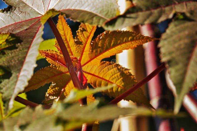 Sidor av svängbart hjulbönaträdet royaltyfria foton