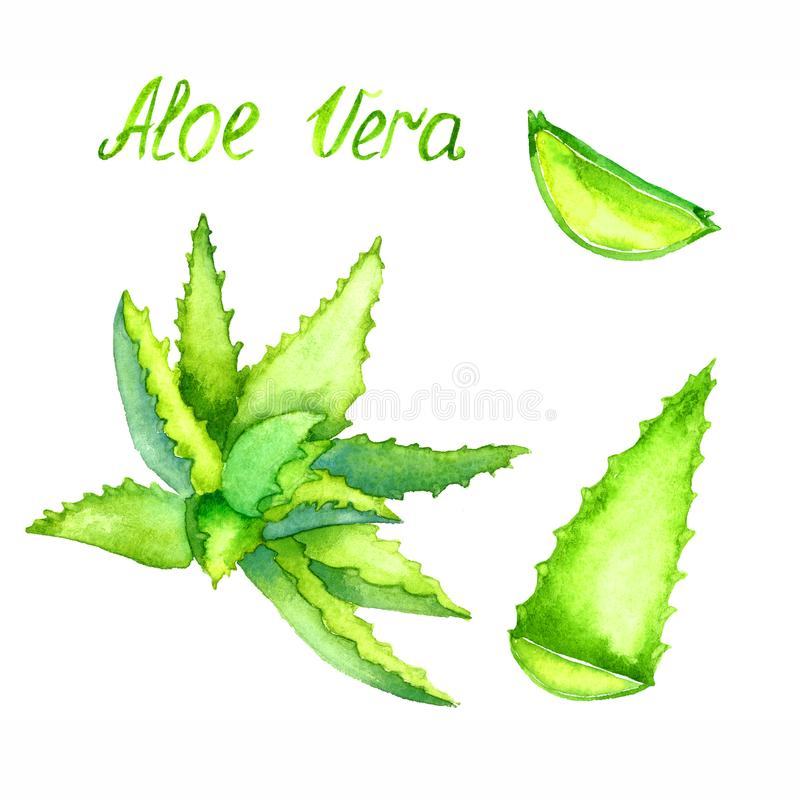 Sidor för för aloeVera växt som och snitt isoleras på vit royaltyfria bilder