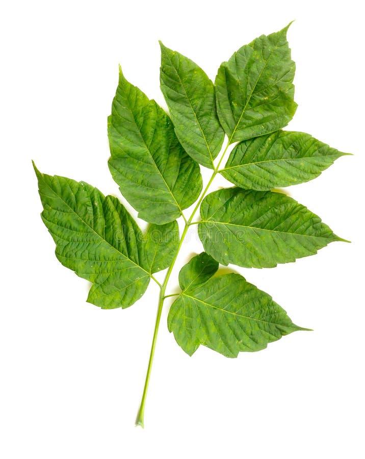 Sidor för blad för lönnträd (cultivar) royaltyfri bild