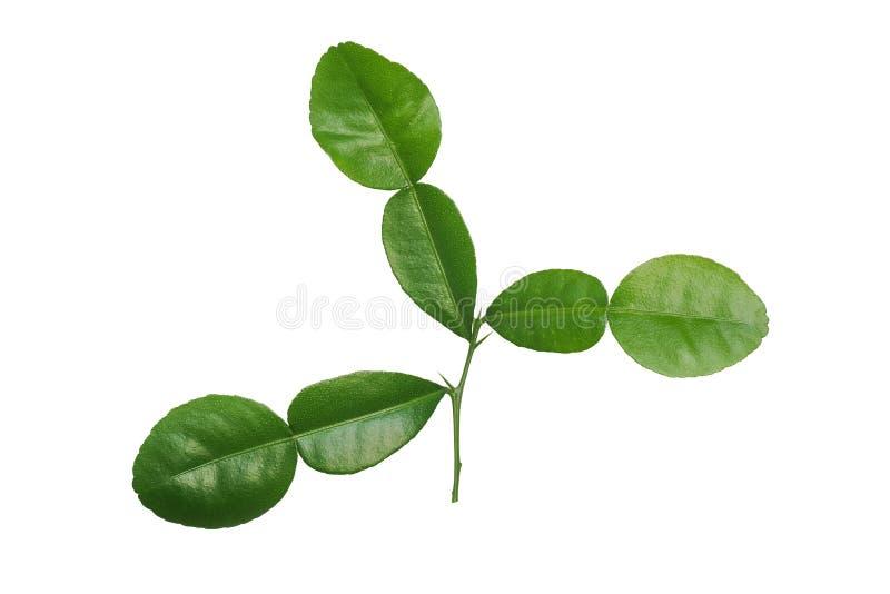 Sidor för gräsplan för hystrix för tropisk växt- växtKaffirlimefrukt citrusa royaltyfria foton