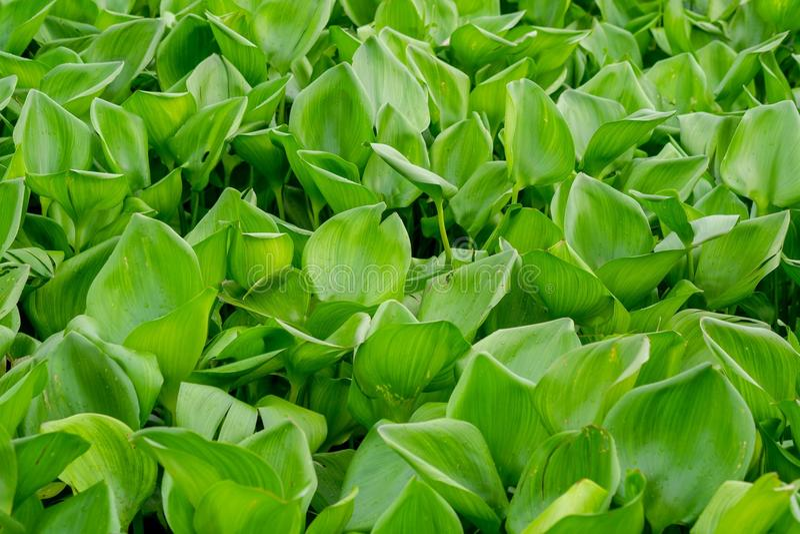 Sidor för gräsplan för växter för vattenhyacint arkivbild