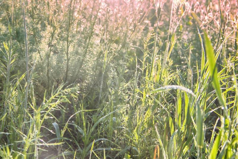 Sidor för grönt gräs med droppar av dagg royaltyfri foto