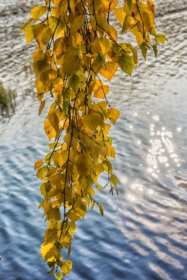 sidor för gul björk mot vattnet arkivbild