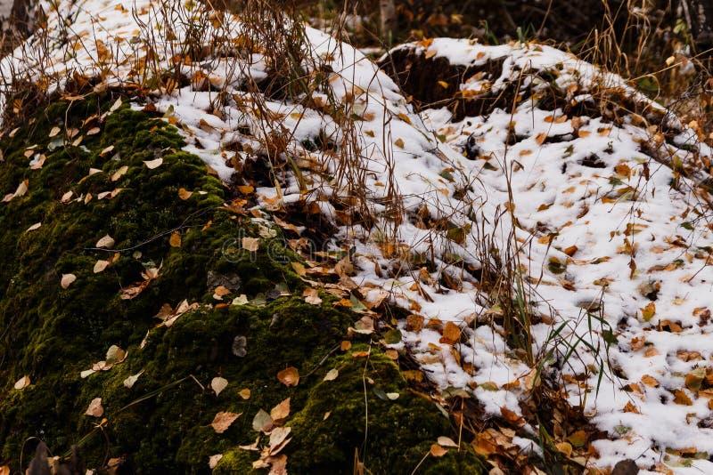 Sidor för gul björk och grön mossa i snön royaltyfri fotografi