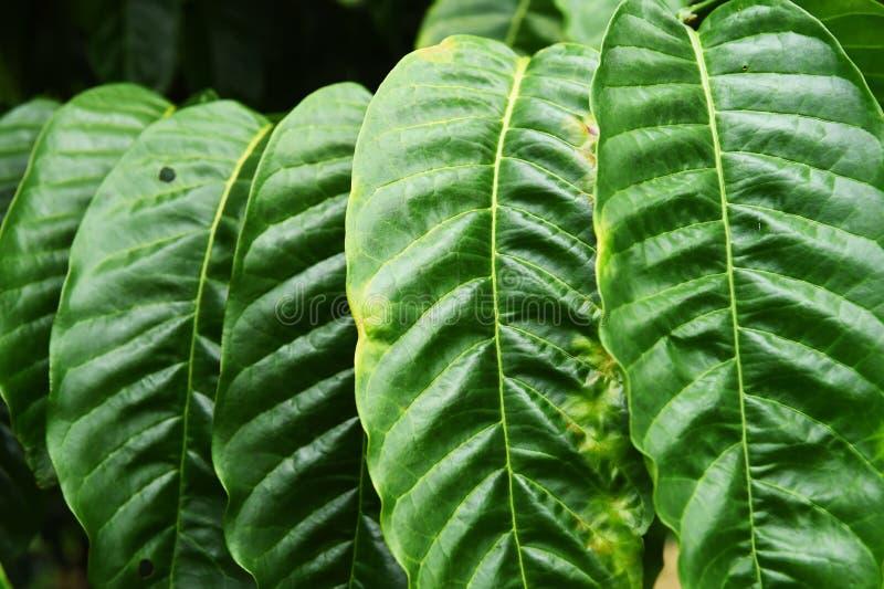 Sidor för kaffeträd royaltyfri fotografi