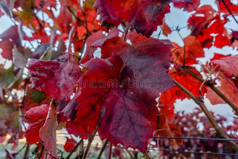 Sidor för röd druva stod ut i enfärgad höstvingård I royaltyfri bild
