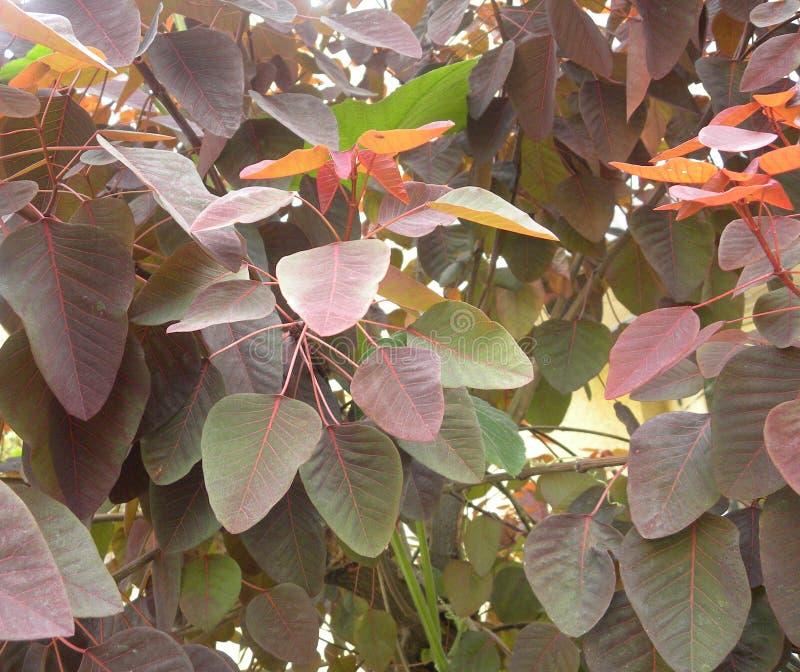 Sidor för röd färg av den tropiska växten för rökbuske royaltyfri foto