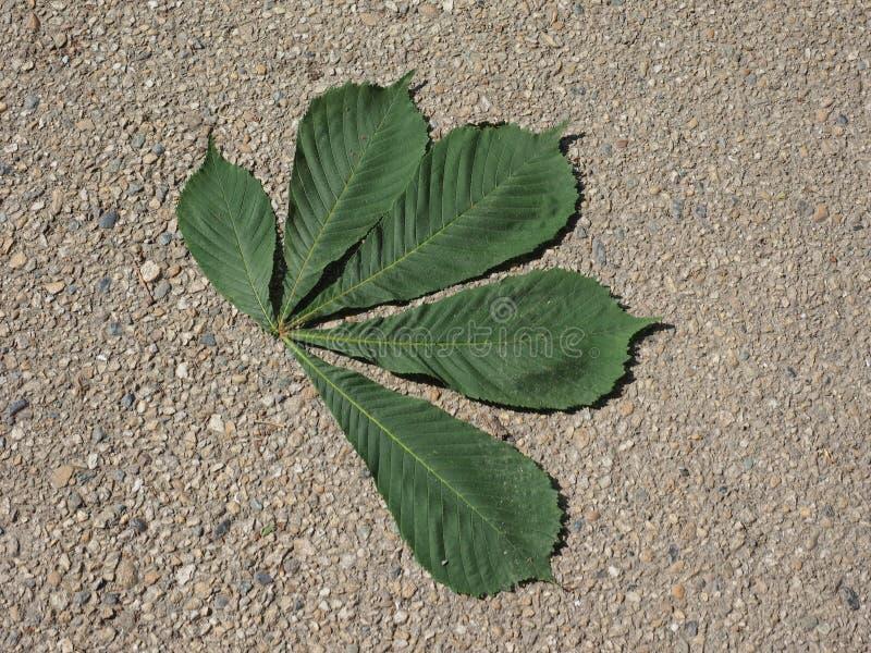 sidor för träd för Conker för hästkastanj (Aesculushippocastanum) arkivfoto