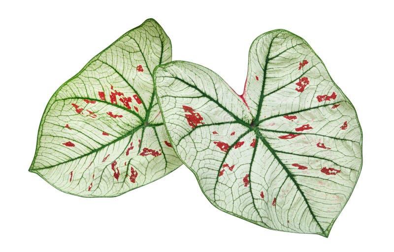 Sidor för växt för lövverk för gräsplan för Caladiumjordgubbestjärna som tropiska isoleras på vit bakgrund, snabb bana royaltyfri bild