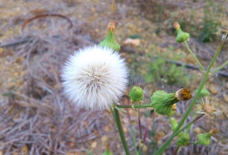 Sidor för växt för Sonchusasperblomma royaltyfri fotografi
