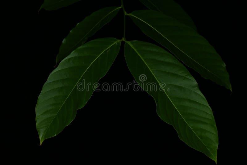 Sidor närbild för grön växt för blad på bakgrund för mörk svart royaltyfria bilder