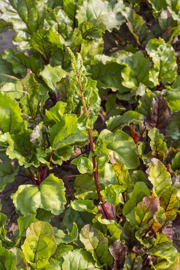 Sidor och blommor av röda beta som växer i den bästa sikten för trädgårdträdgård arkivbild