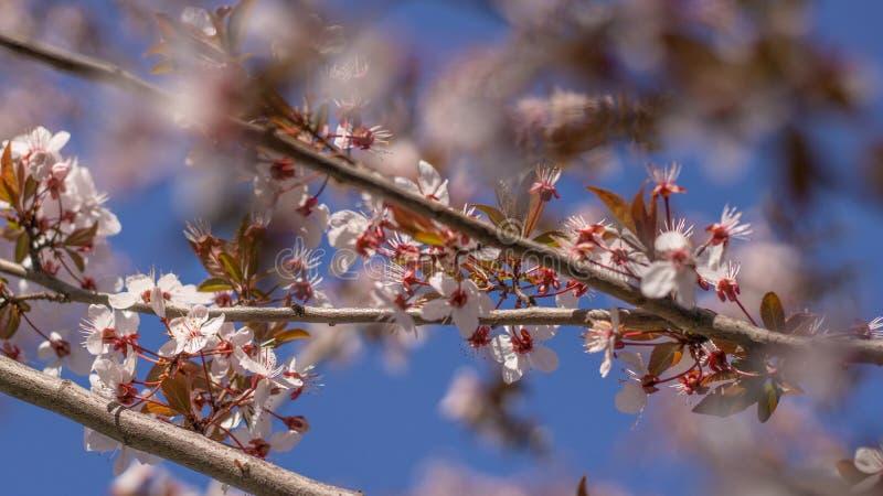 Sidor och små blommor av körsbäret och plommonet mot den blåa himlen royaltyfri bild