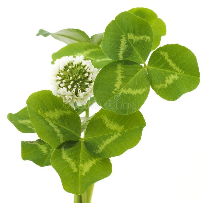 Sidor och vit blomma av växt av släktet Trifolium arkivfoton