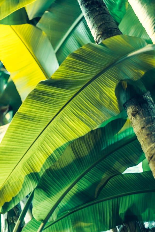 Sidorna av bananträdet fotografering för bildbyråer