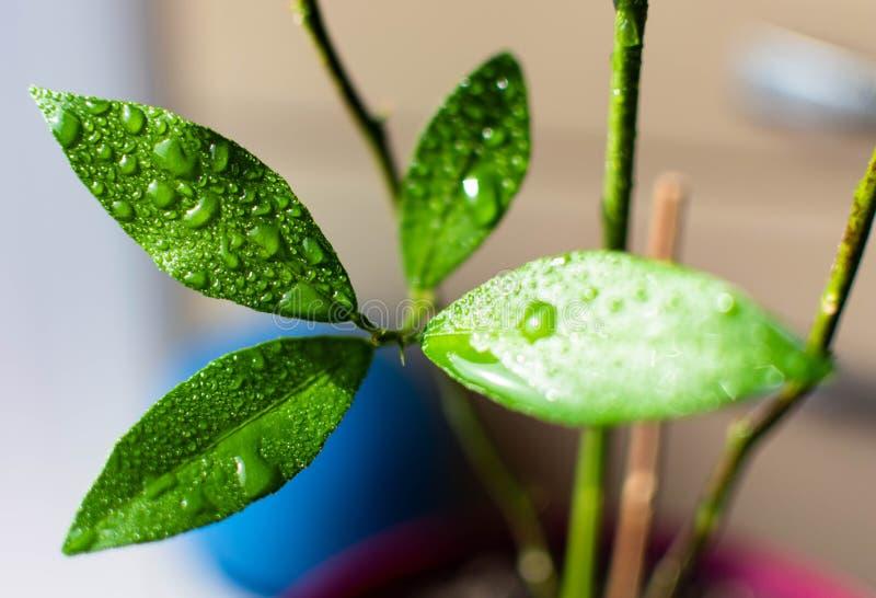 Sidorna av den unga nya gröna closeupen för citronträd med vattendroppar arkivfoton