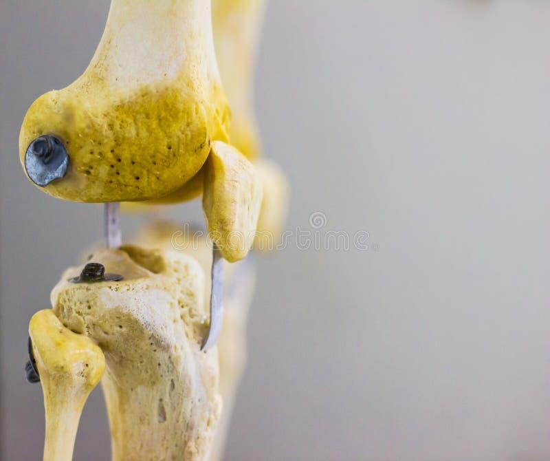 Sidosidosikten av den artikulerade knäskålen för lårbentibiafibulaen benar ur mänsklig knäledanatomi för visningen i isolerade vi royaltyfria foton