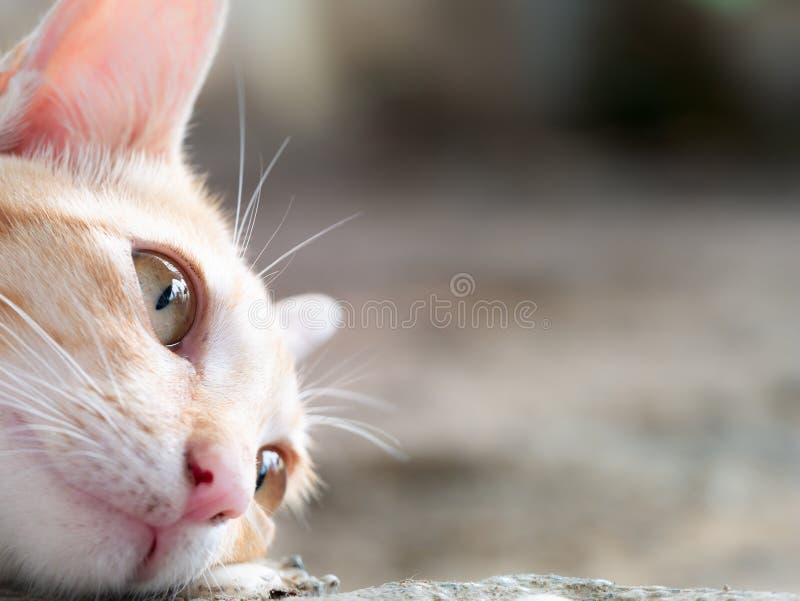 Sidosikt av den gula randiga vita Cat Lying arkivfoto