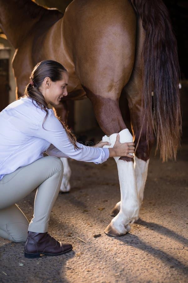 Sidosikt av den kvinnliga veterinären som förbinder hästbenet fotografering för bildbyråer