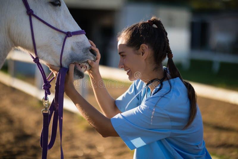 Sidosikt av den kvinnliga veterinären som kontrollerar hästtänder royaltyfri bild
