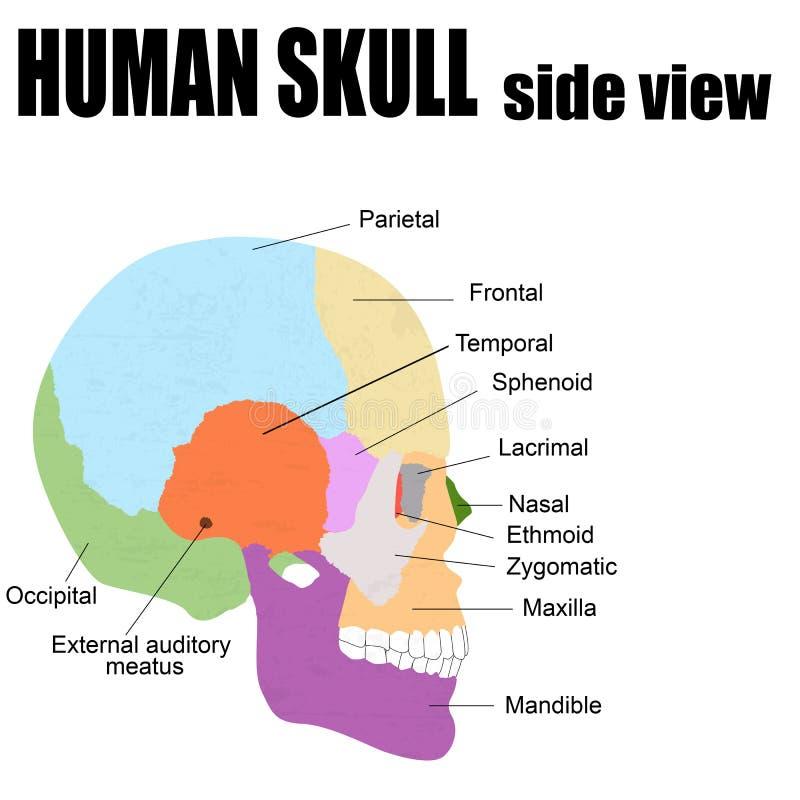 Sidosikt av den mänskliga skallen stock illustrationer