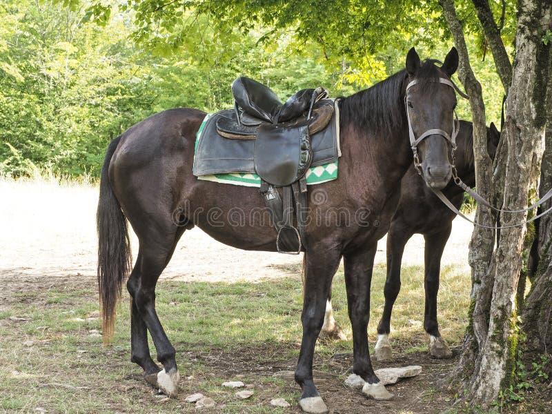 Sidosikt av den mörka bruna hästen med sadeln royaltyfri bild