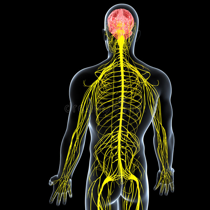Sidosikt av den male nervsystemet stock illustrationer