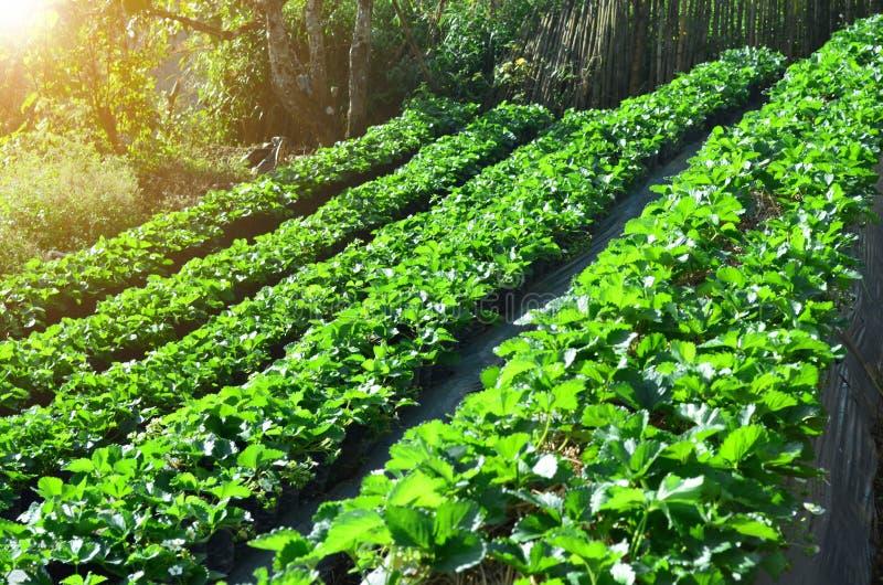 Sidosikt av den organiska jordgubbekolonin på moment av berget, arkivbilder
