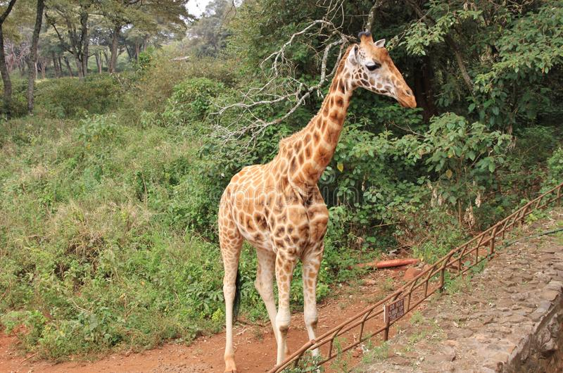 Sidosikt av den Rothschild giraffet royaltyfria bilder
