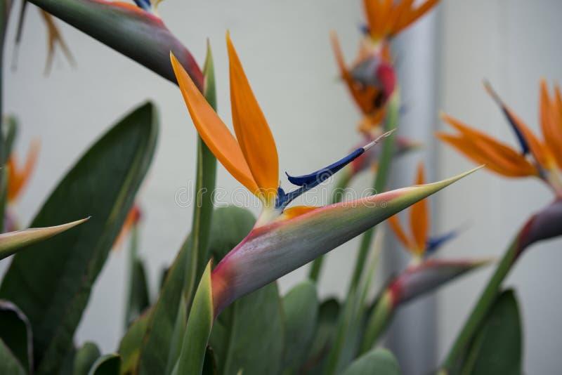 Sidosikt av den tropiska växten, orange fågel av paradisblomman, Strelitziareginae, arkivfoto