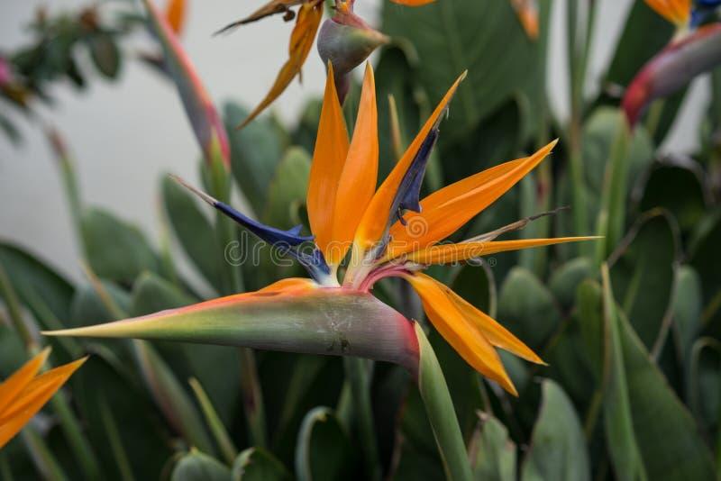 Sidosikt av den tropiska växten, orange fågel av paradisblomman, Strelitziareginae, fotografering för bildbyråer