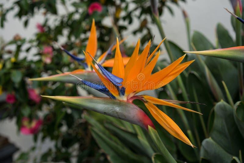 Sidosikt av den tropiska växten, orange fågel av paradisblomman, Strelitziareginae, royaltyfria foton