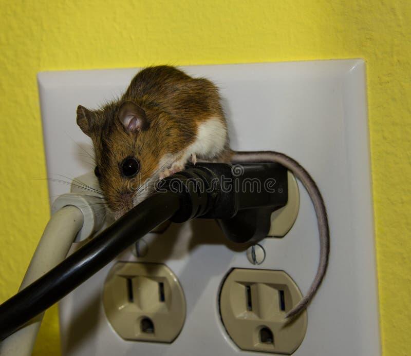 Sidosikt av en brun husmus som grenslar två trådar i ett elektriskt uttag fotografering för bildbyråer