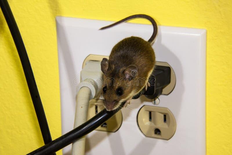 Sidosikt av en brun husmus som kör ner en tråd på ett elektriskt uttag arkivbild