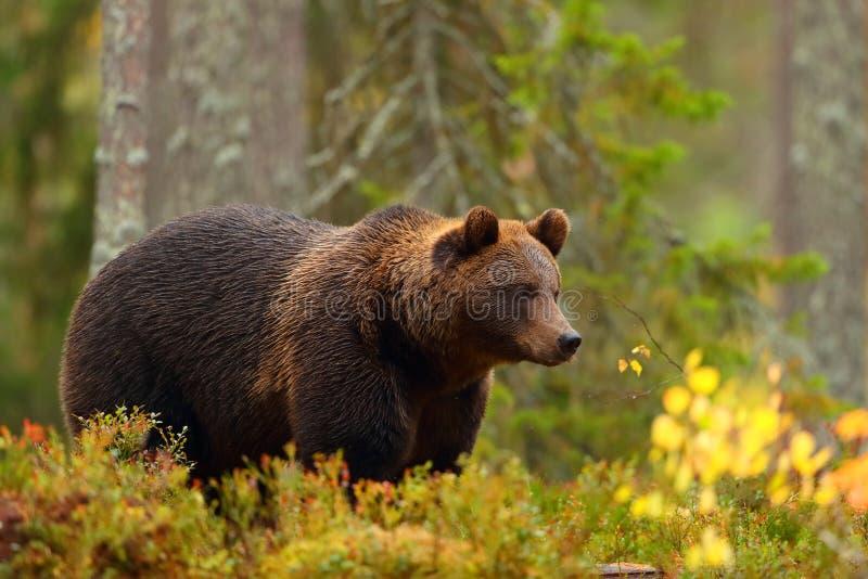 Sidosikt av en brunbjörn i en skog i nedgångsäsong arkivbilder